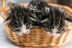 Three kitten in a basket Royalty Free Stock Photo