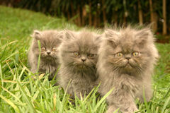 Three kitten brother. Kittens in a line Stock Photo