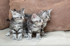 Three kitten brothers Stock Photos
