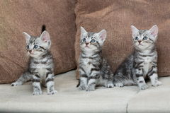 Three kitten brothers Royalty Free Stock Images