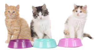 Three kitten with food bowls Stock Photo