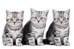 Three kitten isolated Stock Image