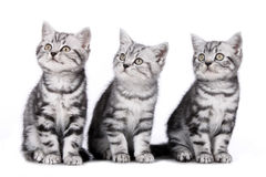 Three kitten isolated Royalty Free Stock Photography
