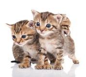 Three  kitten isolated Royalty Free Stock Photo