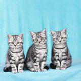 Three kitten in a row Royalty Free Stock Photography