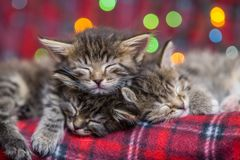 Three kitten sleep on plaid. Three lovely fluffy, gray with dark stripes of a kitten sleep on a red plaid. Against the backdrop of multicolored Christmas lights Royalty Free Stock Image