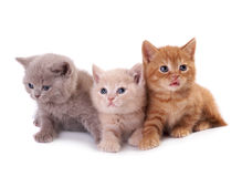 Three kittens Stock Image