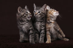 Three Kittens. Posing in the studio Stock Photo