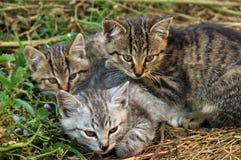 Three kittens Stock Image
