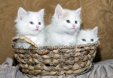 Three kittens Royalty Free Stock Photos