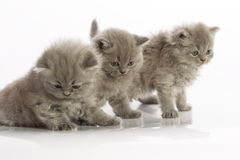 Three kittens. Three British Blue kittens on white background royalty free stock photo