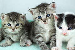 Three kittens. A view of three tiny, newborn kittens Royalty Free Stock Images