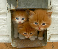 Three kittens. Looking out of their house Royalty Free Stock Photos