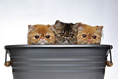 Three Kittens. In a bucket, shot in a studio setting Stock Photography