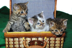 Three kittens in a basket Stock Images