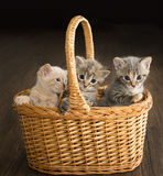 Three kittens in basket. Three cute and playful kittens sitting in a basket Royalty Free Stock Images