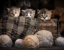 Three kittens in a basket. With sepia tone stock images