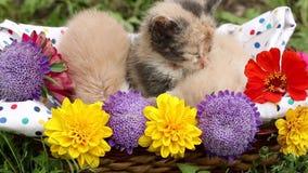 Three kittens in basket stock video footage