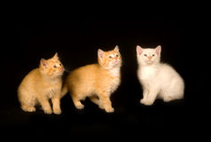 Three kittens on a black background Royalty Free Stock Photo