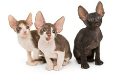 Three kittens the breed Cornish Rex Royalty Free Stock Images