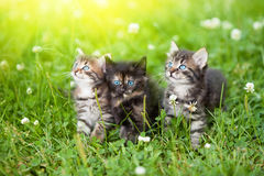 Three kittens. Three cute kittens in the meadow Stock Images