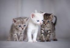 Three kittens. Three fun cute kittens together stock image