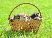 Three kittens on green meadow sitting in basket Royalty Free Stock Photos