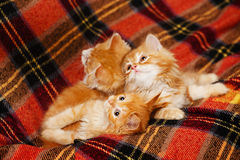 Three kittens hide in the folds of the plaid Stock Image