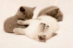 Three kittens Royalty Free Stock Image