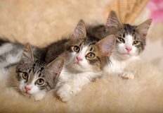 Three kittens lying beside Stock Image