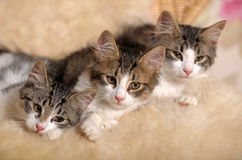 Three kittens lying beside Royalty Free Stock Images