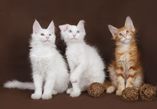 Three kittens Maine Coon. On a brown background Royalty Free Stock Photography