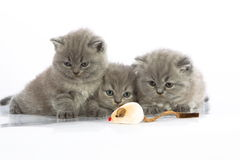 Three kittens with mouse toy. Three cute young kittens playing with mouse toy isolated on white background stock photography