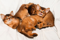 Three kittens portrait. Three cute kittens lying on white bed and looking at camera Royalty Free Stock Image