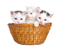 Three kittens sitting in basket Royalty Free Stock Photo