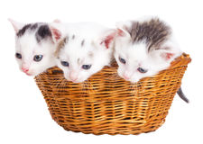Three kittens sitting in basket Stock Photography