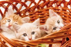 Three kittens sitting in a basket close-up royalty free stock photography