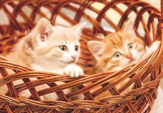 Three kittens sitting in a basket close-up royalty free stock image