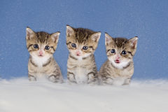 Three kittens sitting in snow Royalty Free Stock Photo