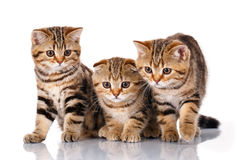 Three kittens sitting on a white background Royalty Free Stock Images