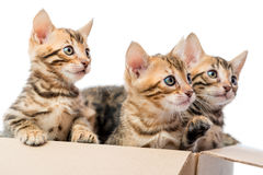 Three kittens with spots on fur look out from  box Royalty Free Stock Images