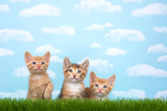 Three kittens in tall grass with blue sky background white fluff. Y clouds. Looking up. Horizontal presentation with copy space above Stock Photo