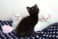 Three Kittens - white and black Royalty Free Stock Photo