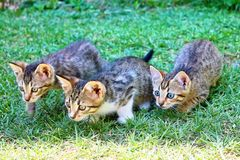 Three kitties lurking royalty free stock photo