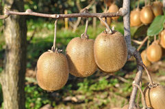 Three kiwis. Hanging from the branch in orchard Stock Image