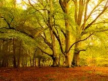 Three at Knightswood. Trees near Knightswood Oak in the Autumn Stock Photography