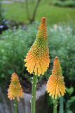 Three kniphofia or red hot poker blooms in mango popsicle colour royalty free stock photo