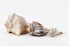 Three Knobbed Whelks. Royalty Free Stock Photography