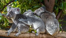 Three koalas sitting on a branch holding each other Stock Image