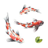 Three Koi fish on white background Stock Photos